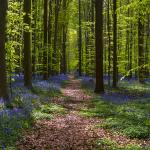 Hallerbos: El bosque azul belga